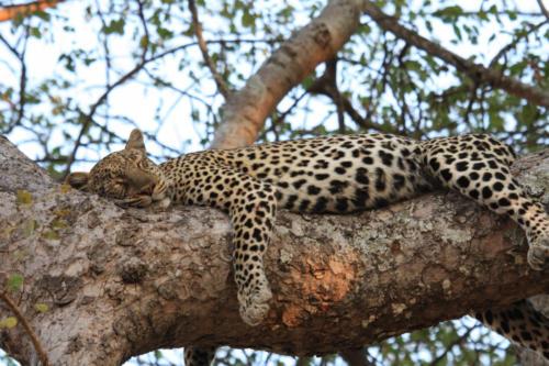 Leopard, Panthera pardus (Tanzania ©Yves Hausser)