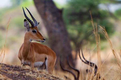 Impala, Aepyceros melampus (Tanzanie ©Sébastien Dubouchet)
