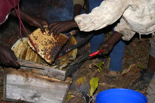 Honey harvesting in Mlele Beekeeping Zone