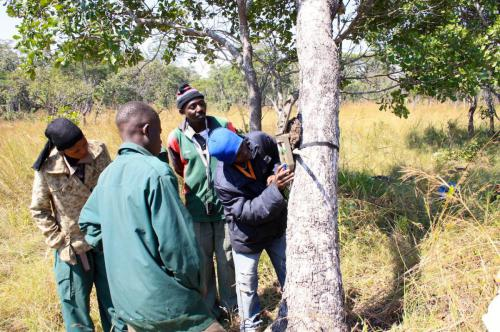 Village game scouts setting up a camera trap