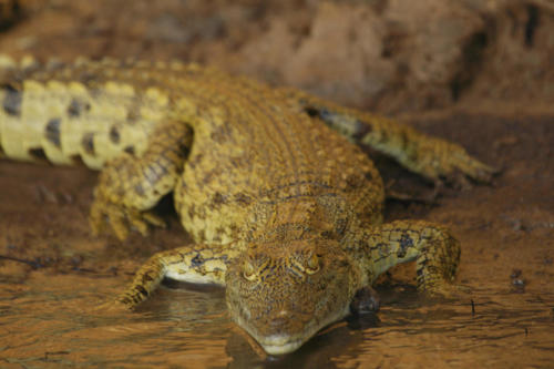 Crocodile, Crocodylus niloticus (Tanzanie ©Yves Hausser)