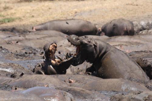 Hippopotame, Hippopotamus amphibius (Tanzanie ©Fabrice Frigerio)