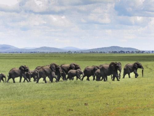 Eléphants, Loxodonta africana (Tanzanie ©Yves Hausser)