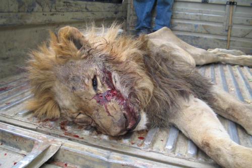Lion abattu (Tanzanie ©ADAP)