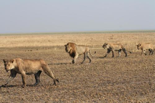 Lion, Panthera leo (Tanzanie ©Yves Hausser)