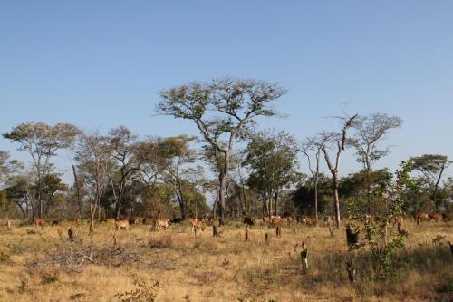Vaches qui sont arrivées massivement dans la région avec leurs propriétaires