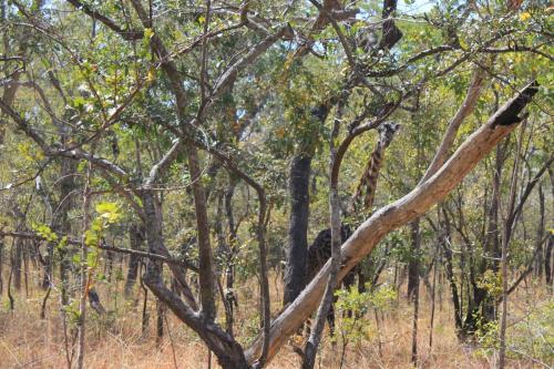 Girafe dans la réserve forestière de Rungwa River