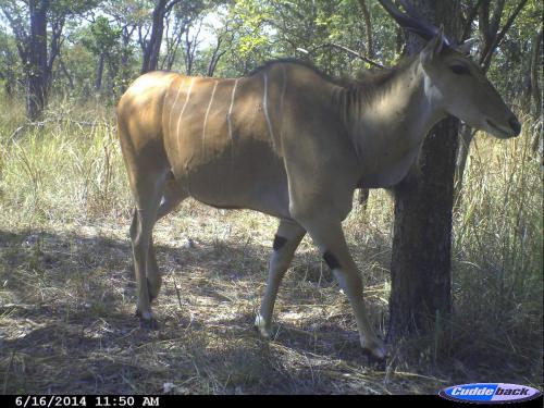 Tragelaphus oryx